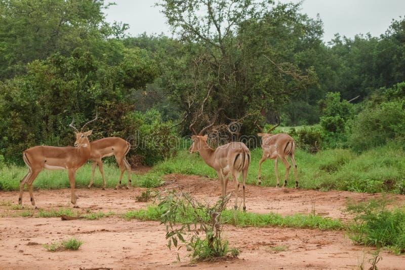 gazelles στοκ φωτογραφία με δικαίωμα ελεύθερης χρήσης