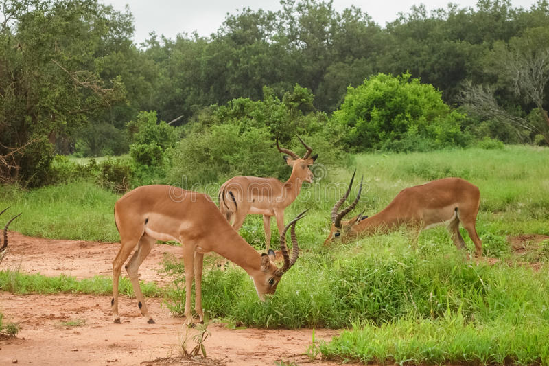 gazelles στοκ εικόνες με δικαίωμα ελεύθερης χρήσης