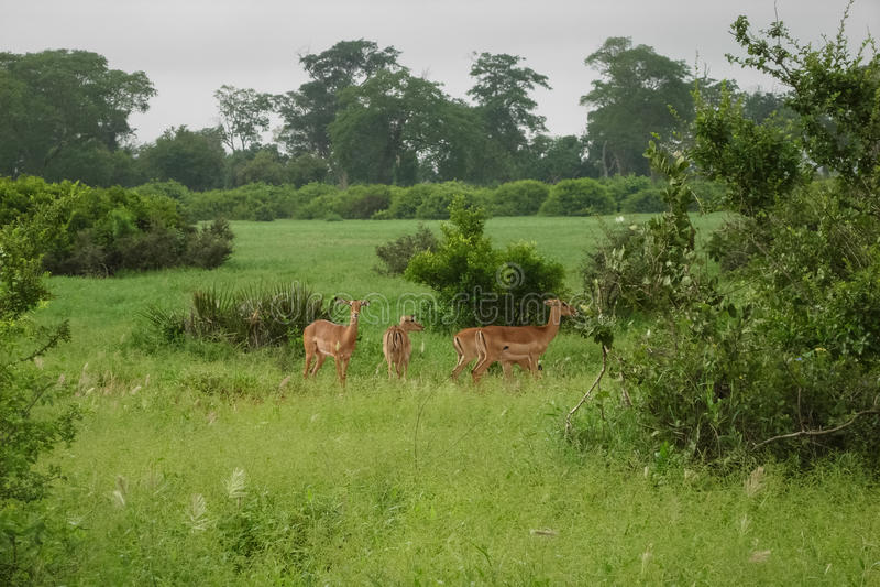 gazelles imagem de stock