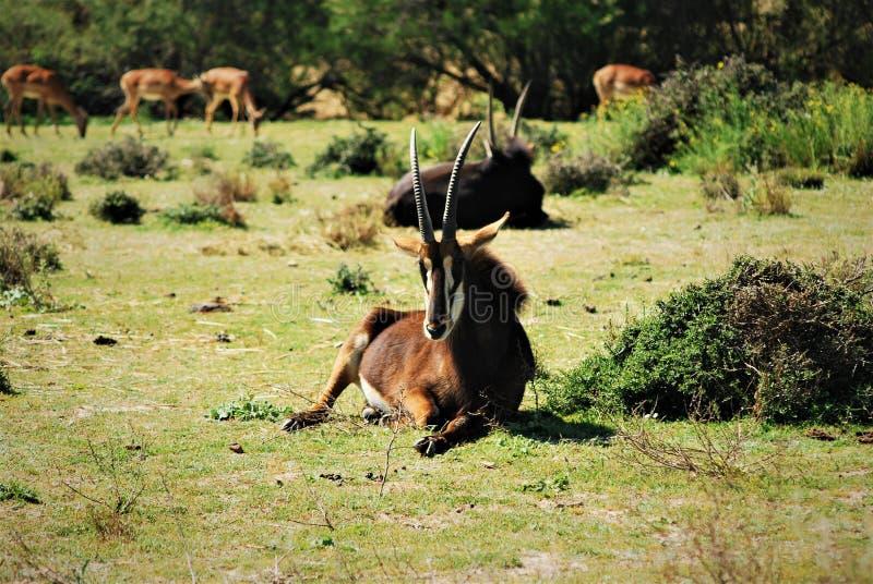 gazelles fotos de stock