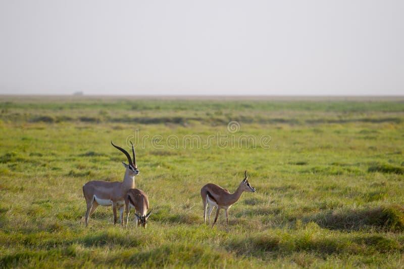 Gazelles, Amboseli imagens de stock royalty free