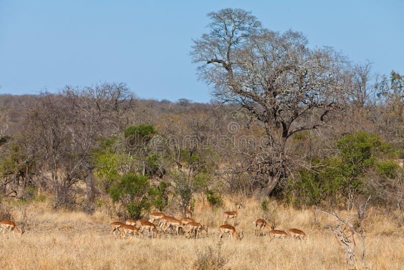 gazelles beviljar krugernationalpark s arkivfoton
