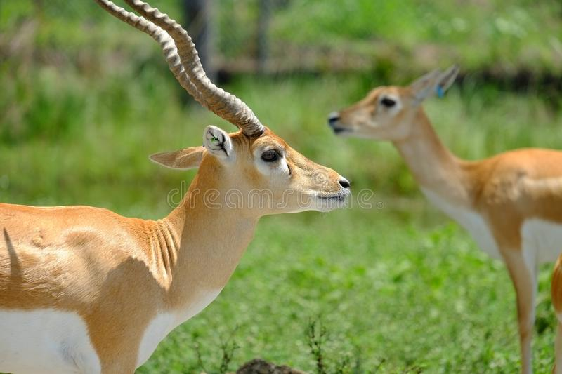 Gazelles: Close-up view. Gazelles in their natural habitat royalty free stock image