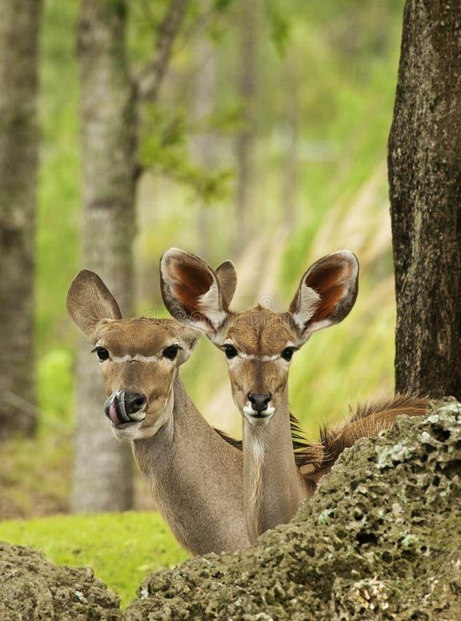 Gazelles de Thompson imagens de stock royalty free