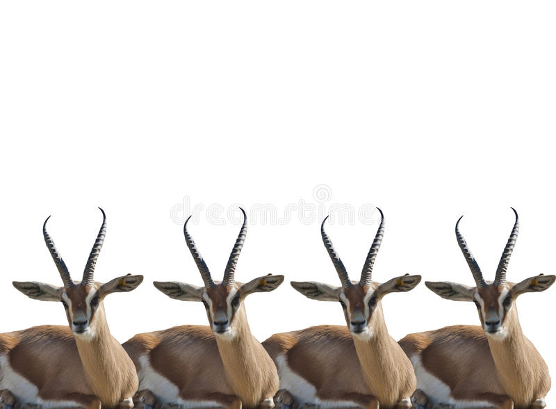 Gazelles de Thompson photographie stock libre de droits