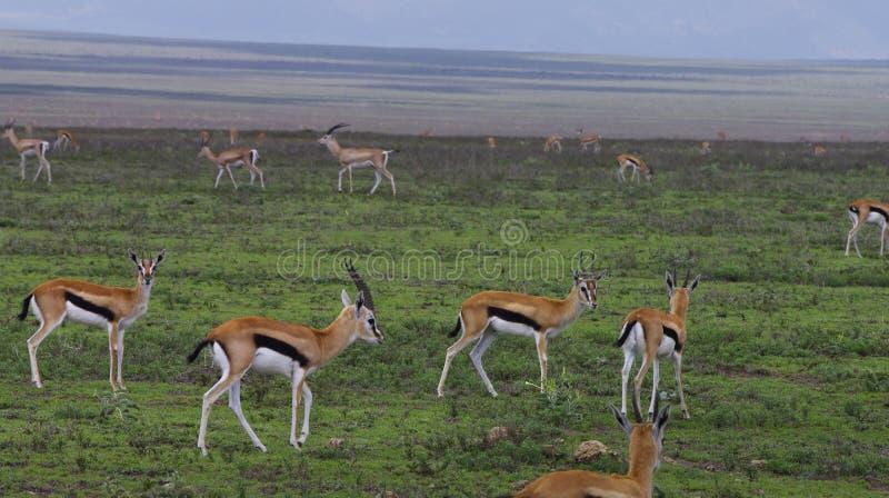 Gazelles de Thompson em planícies de Serengeti fotografia de stock