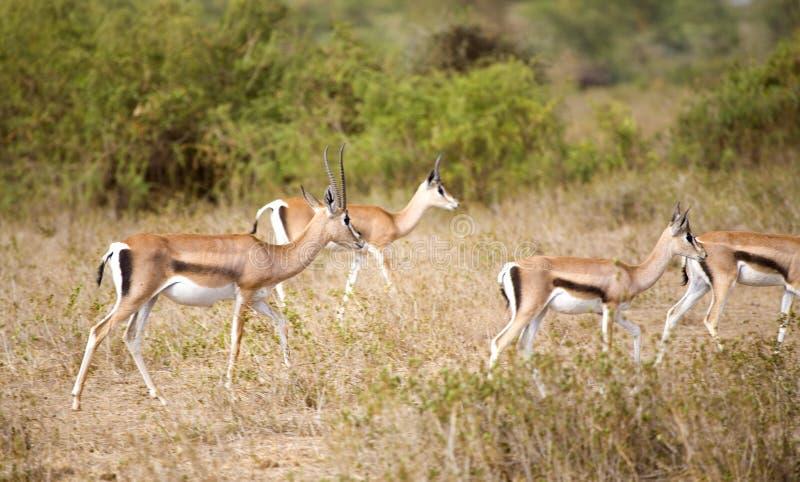 Gazelles de Thomson foto de stock
