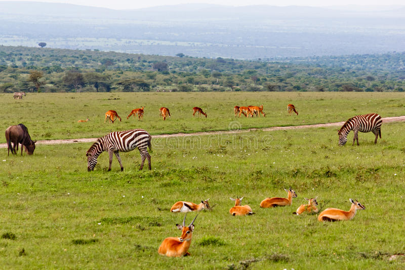 Gazelles e zebras imagem de stock royalty free