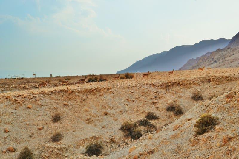 Gazelles fonctionnant aux cavernes de Qumran en parc national de Qumran, hausse de désert de Judean, Israël photo stock