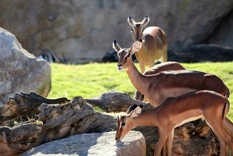 Gazelles. A group of gazelles royalty free stock photos