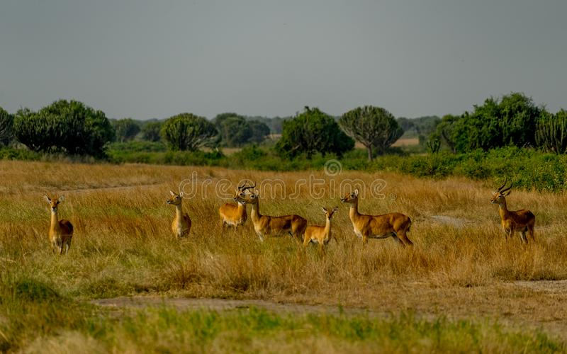 Gazelles. A herd of gazelles in the grass royalty free stock photos