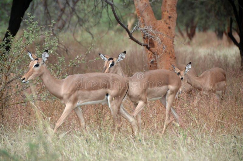 Gazelles i Afrika royaltyfri fotografi