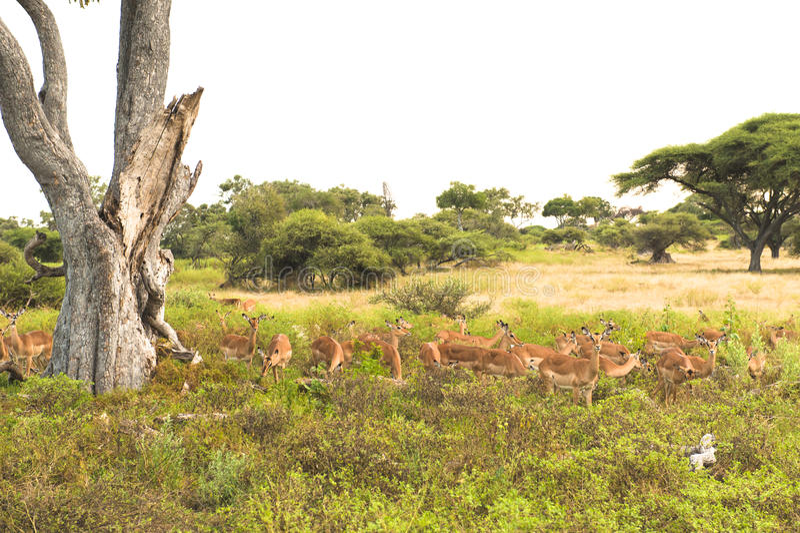 Gazelles - Impalas foto de stock royalty free