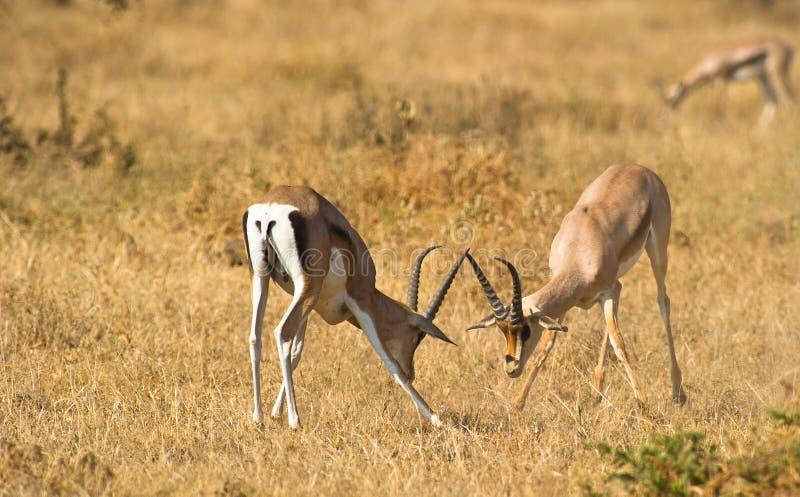 Gazelles masculinos de desafio de Grant´s fotografia de stock