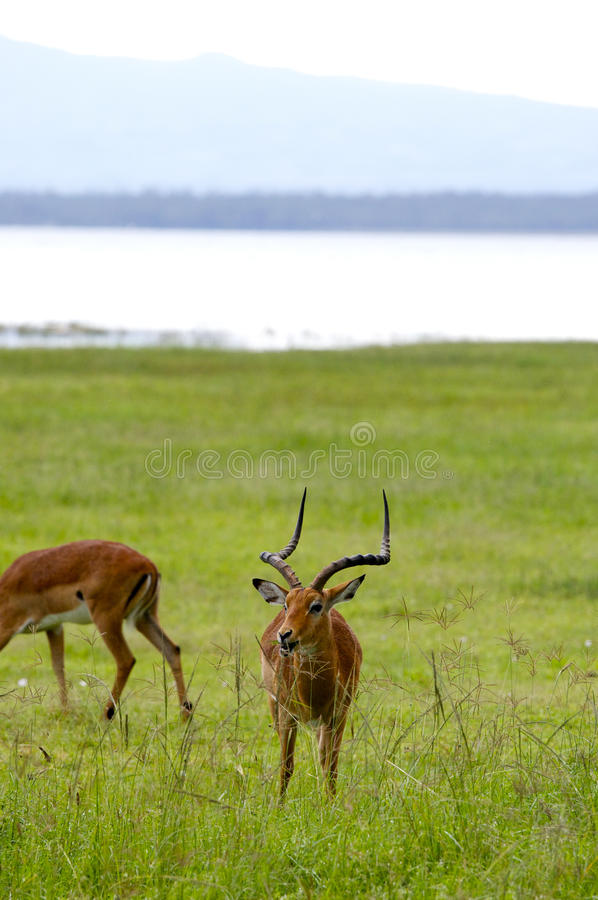 Gazelles, Nakuru fotografia de stock royalty free