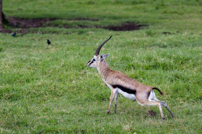 Gazelles, Nakuru imagens de stock