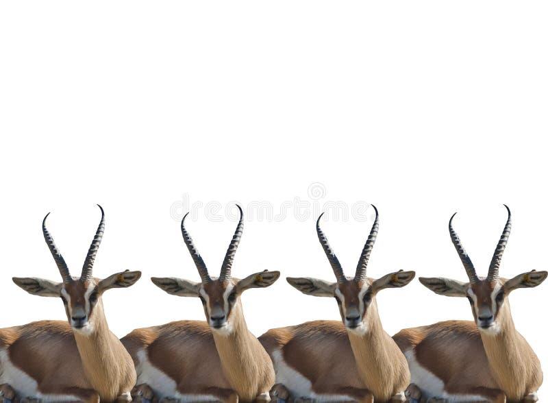 gazelles thompson royaltyfri fotografi