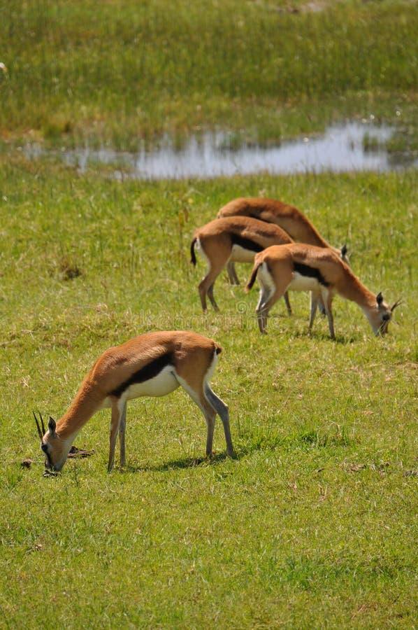 Gazelles Thomson стоковое изображение