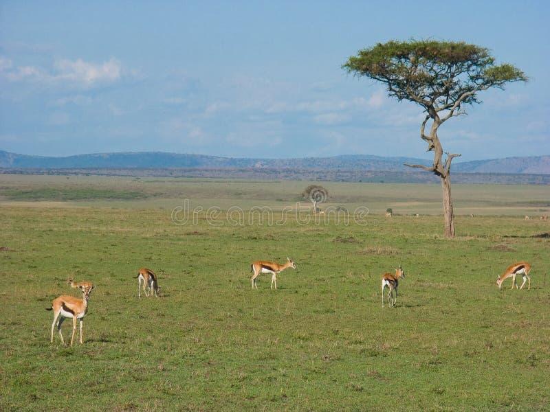 gazellessavanna royaltyfri foto