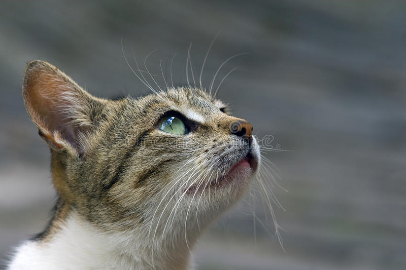 Gazing Cat Royalty Free Stock Images
