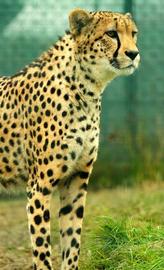 Gazing cheetah stock image