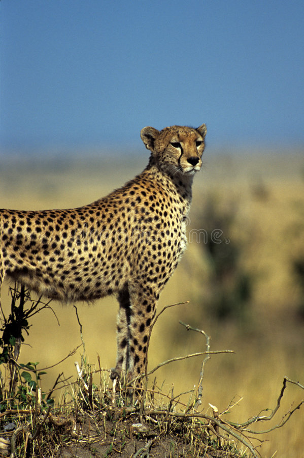 Gazing cheetah. Cheetah standing on hill royalty free stock photo