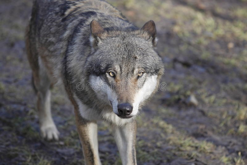 Gazing eurasian wolf. The detail of gazing eurasian wolf stock photo