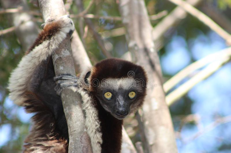 Gazing into the eyes of the Verreaux`s sifaka Propithecus verreauxi stock photos