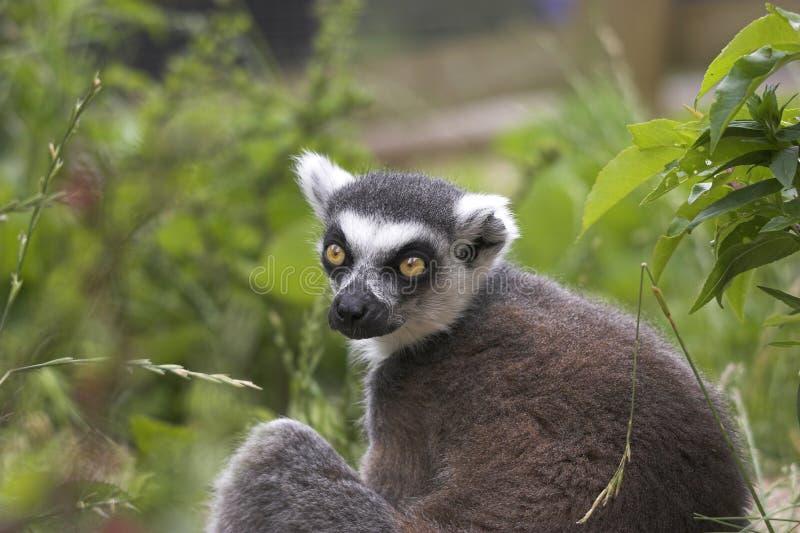 Gazing Lemur Royalty Free Stock Photography