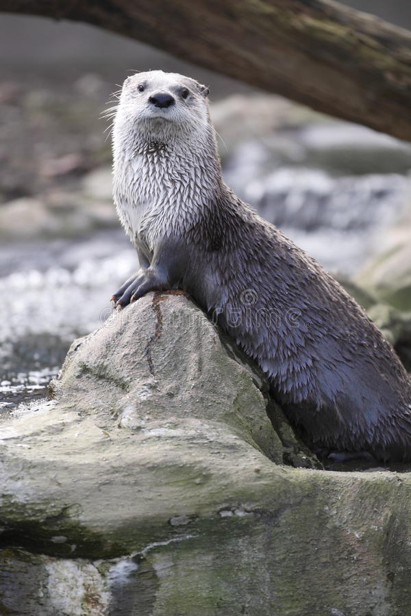 Gazing river otter. The gazing North American River otter (Lontra canadensis royalty free stock photo