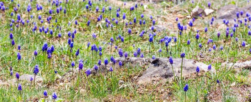 Gazon met bloeiende bloemen van Muscari royalty-vrije stock foto's