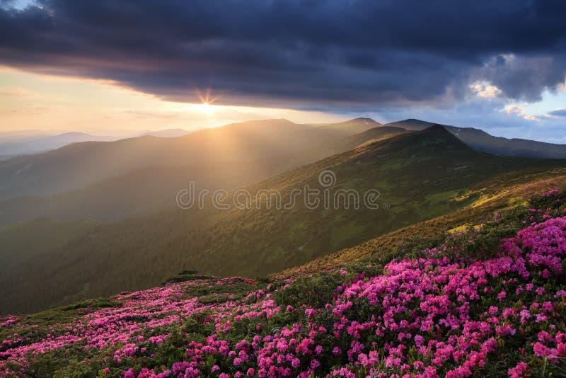Gazon met de roze rododendrons Toeristisch plaats Karpatisch nationaal park, de Oekraïne Mooie Zonsondergang Majestueuze de zomer stock afbeeldingen