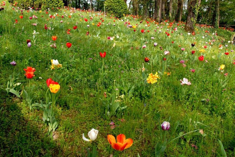 Gazon met tulpen stock afbeelding