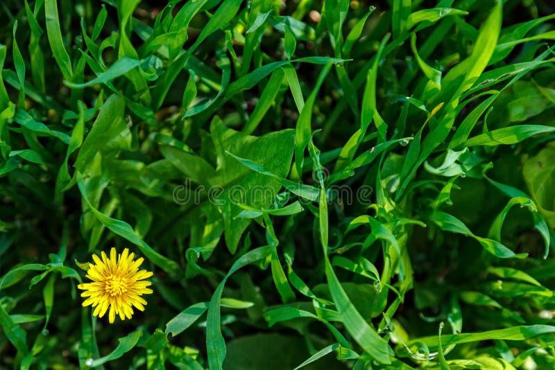 Gazon trawa i dandelion kwiat Zakończenie Świeży zielonej trawy gazon w świetle słonecznym, kształtuje teren w ogródzie, piękno l zdjęcia royalty free