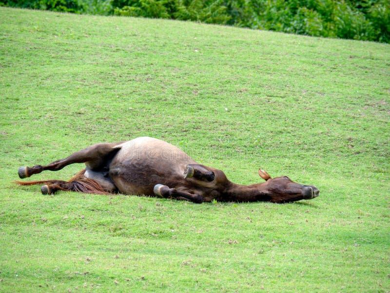 gazon, weidend land voor paarden, het Liggende rollen op het groene gras, gebied, landschap, landbouwbedrijf stock foto's