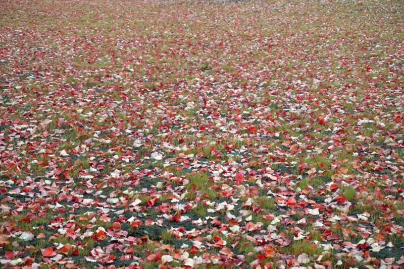 Gazon z kolorem żółtym, pomarańcze, czerwień spadać liście brzoza, zielona trawa jesienią zbliżenie kolor tła ivy pomarańczową cz obraz stock