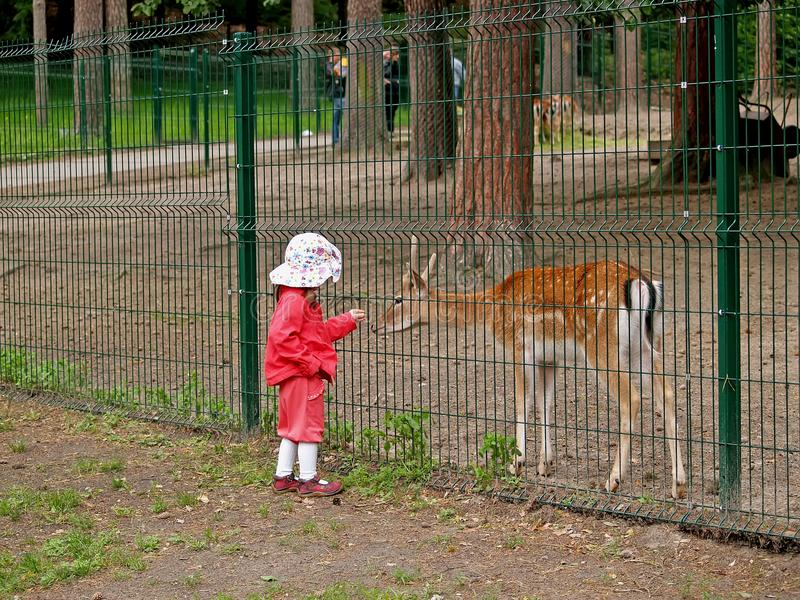 GDANSK, POLAND. The little girl feeds a fallow deer in a zoo royalty free stock photo