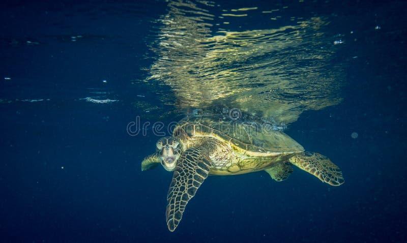 Gderliwy żółw gapi się przy kamera mężczyzną fotografia royalty free