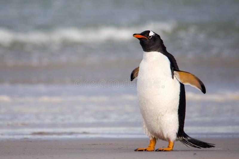 Gderliwy przyglądający Gentoo pingwin Falkland wyspy zdjęcie royalty free