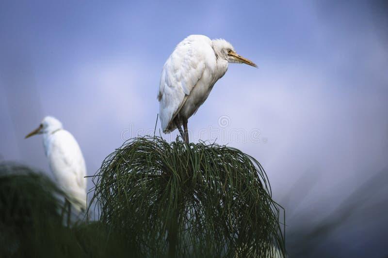 Gderliwy ptak, Nuwara Eliya, Sri Lanka zdjęcia stock