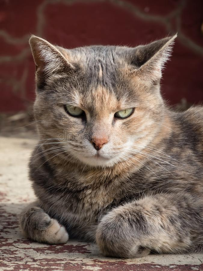 Gderliwy tortoiseshell tabby kota obsiadanie z fałdową łapą przed czerwonym krokiem fotografia royalty free
