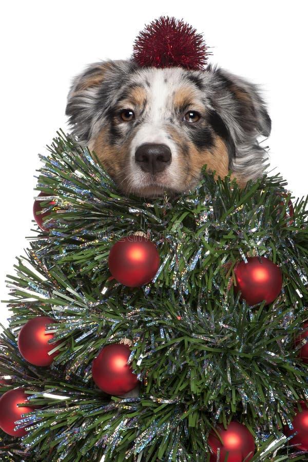 gdy australijski boże narodzenie pies ubierał pasterskiego drzewa obraz stock