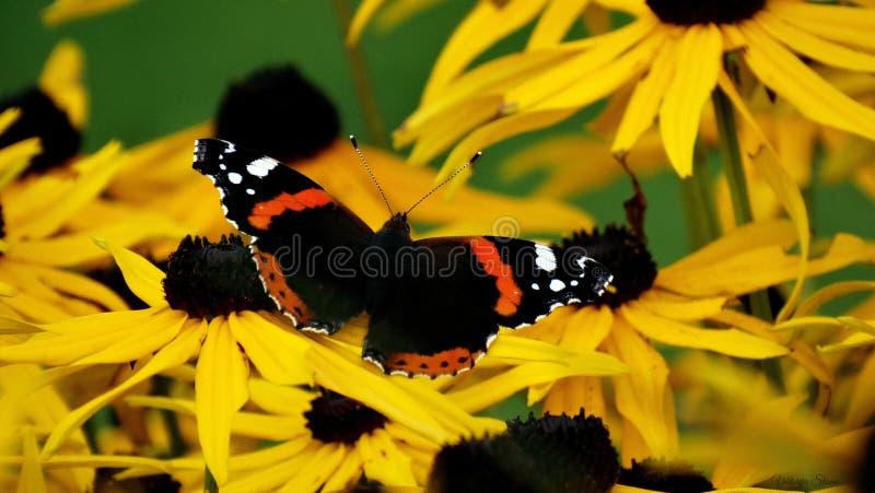 Gdy motyl spotykał jego wymarzonego kwitnie zdjęcie stock