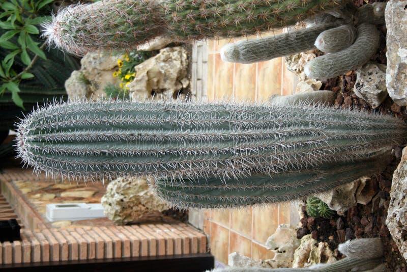 gdzieś kaktusy Hiszpanii obraz royalty free