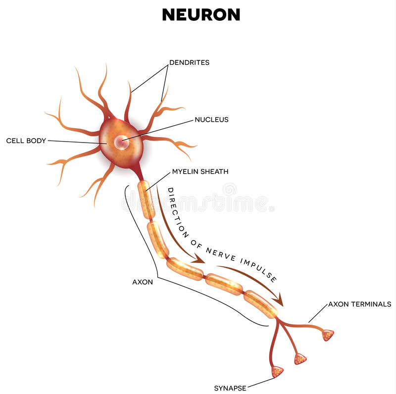 Geëtiketteerd diagram van het neuron vector illustratie