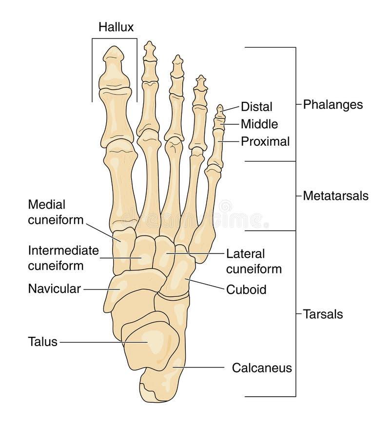 Geëtiketteerde beenderen van de voet,
