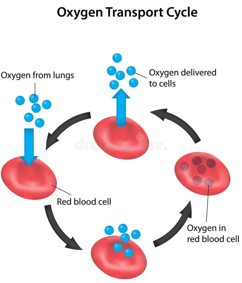 Geëtiketteerde het Bloed van de ademhalingscyclus stock illustratie