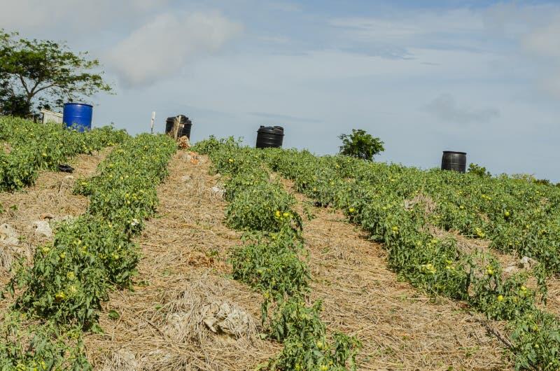 Geïrrigeerde de Druppel van de tomatentuin stock fotografie