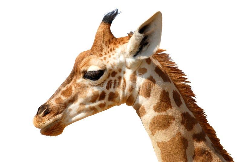 Geïsoleerd¢ hoofd van giraf stock foto's