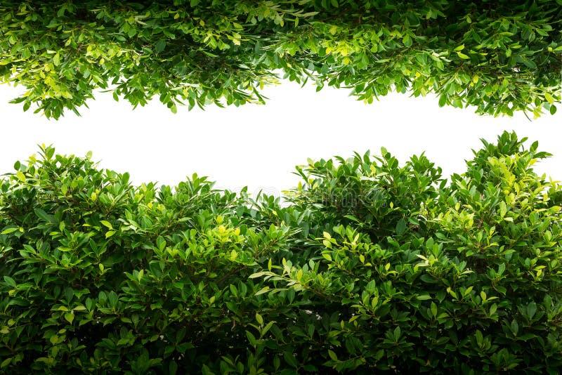 Geïsoleerd Banyan groen blad stock afbeeldingen